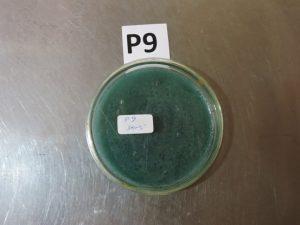Pseudomonas fluorescens निर्माण व रोग नियंत्रण में उपयोग